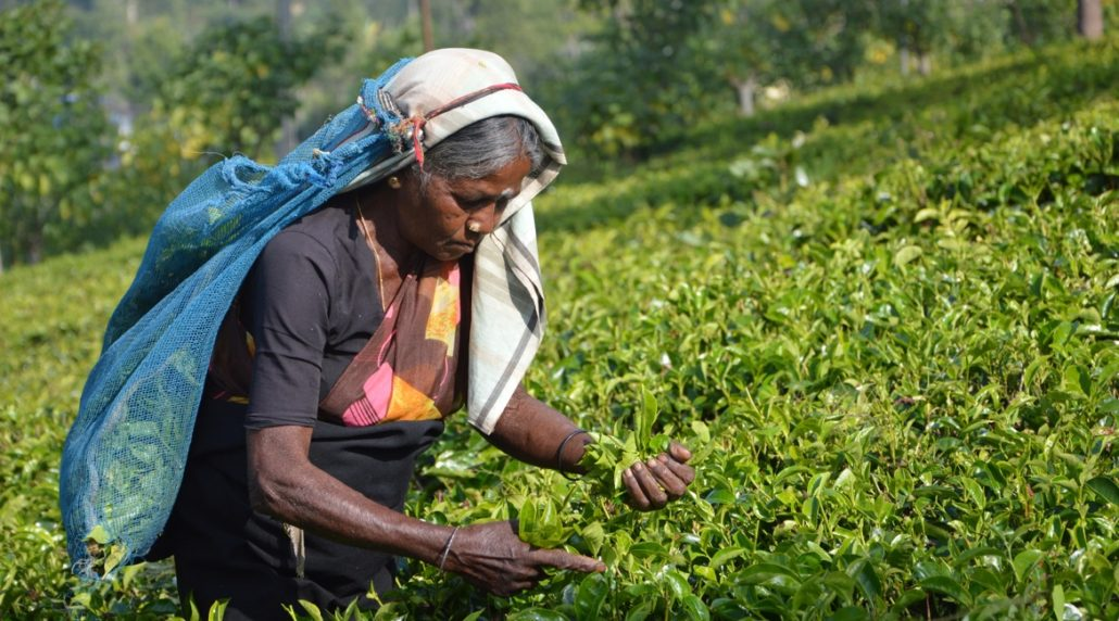 Sri Lanka Urlaub - Tee
