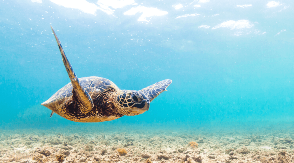 Hawaii surfen - Turtle